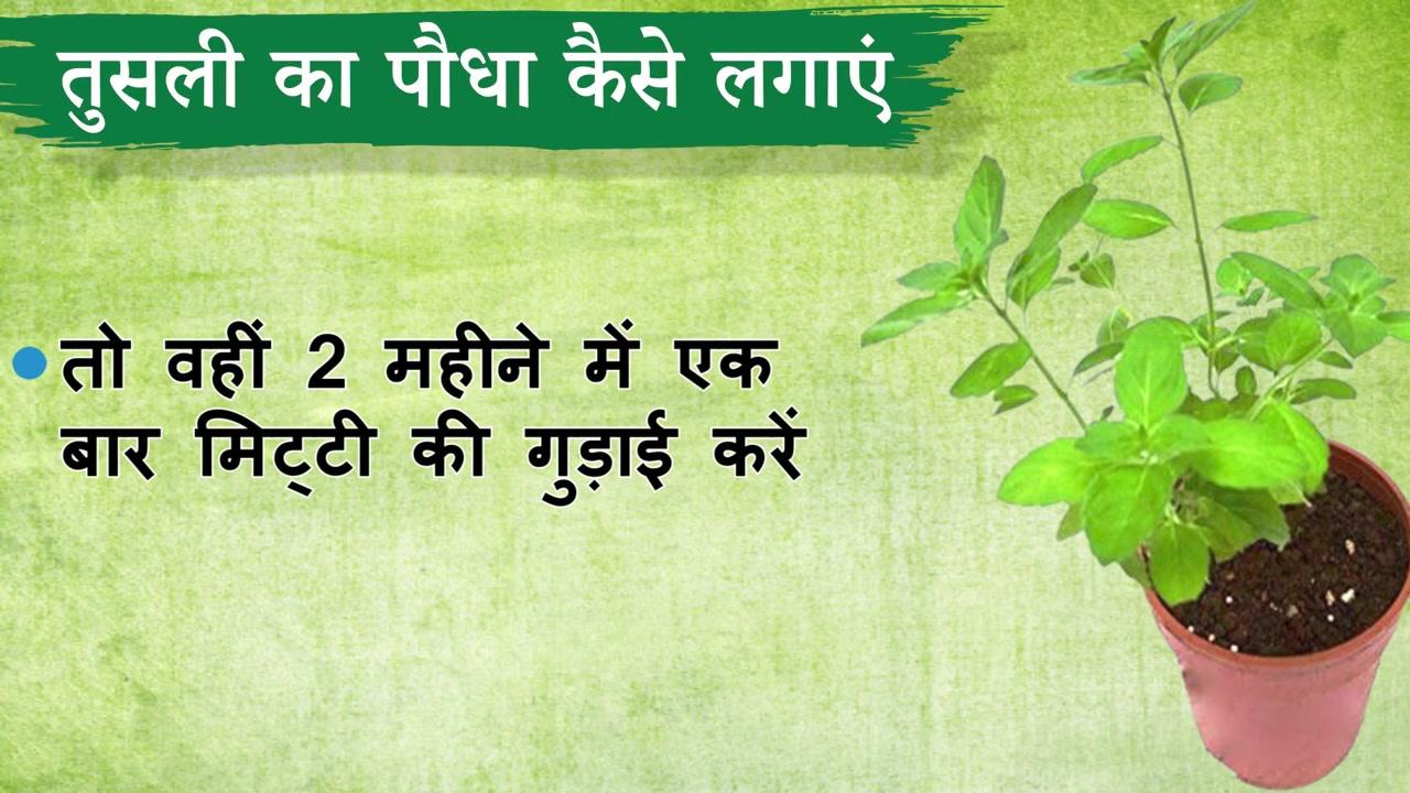 तुलसी का पौधा कैसे लगाएं   Benefits of Tulsi