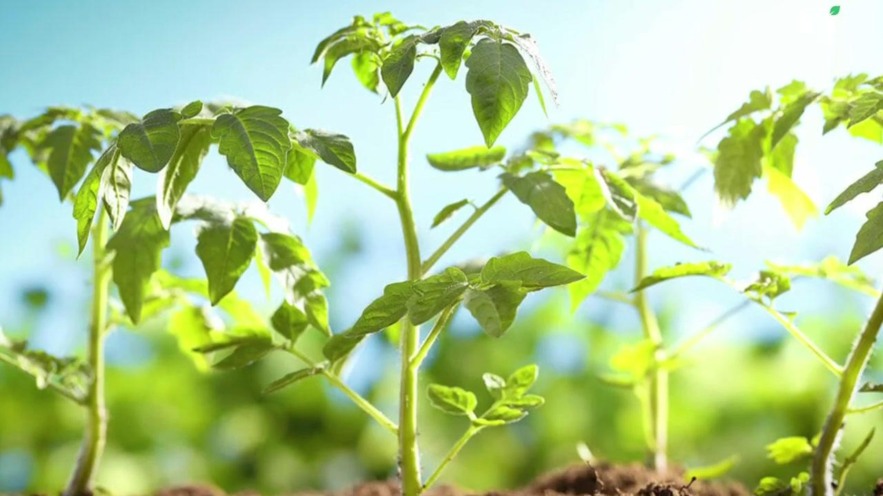 मात्र 21 दिनों के अंदर टमाटर की खेती से कमाएं लाखों _ Tomato Farming